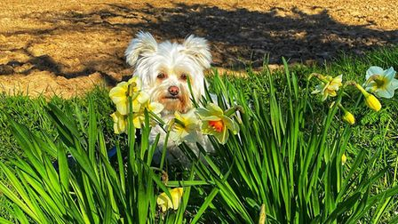 Elsie the dog with daffodils in Hoveton. Picture: CHEYANNE LOWTHER