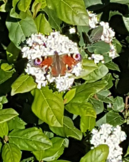 Ann Harvey spotted this butterfly in her garden in Catfield Picture: ANN HARVEY