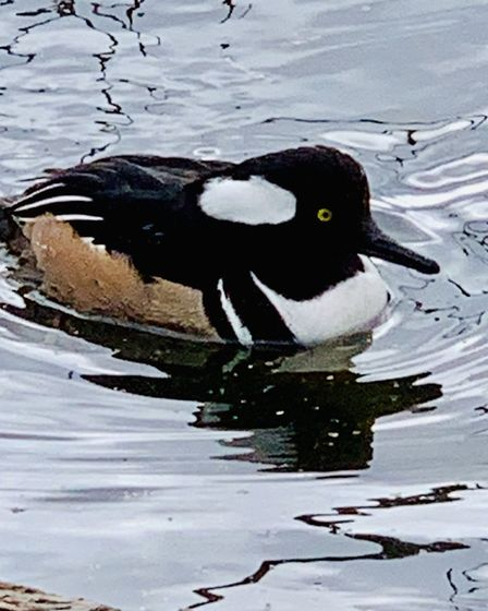 Philip Warren spotted a hooded merganser duck on the River Gipping in Ipswich Picture: Philip Warren