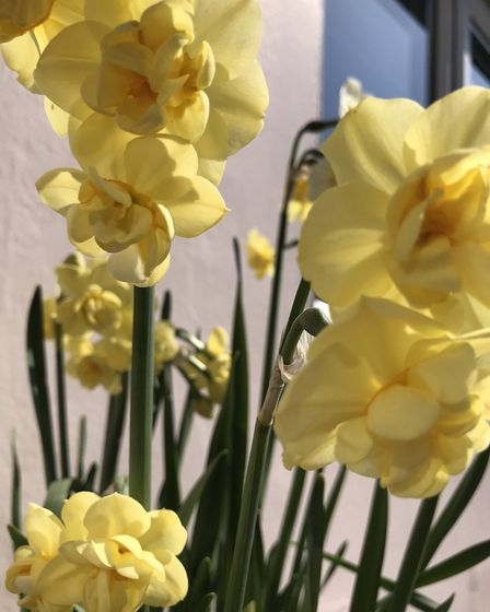 Colourful narcissi in Leiston Picture: NICKY CORBETT