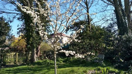 A plum tree in full bloom in Sarah Barber's back garden in Ipswich Picture: SARAH BARBER