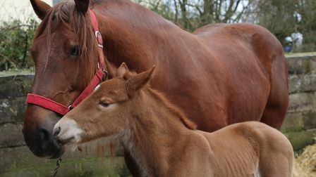 The birth of foals like Coppermantle Big Stig is critical to the future of the breed Picture: STEFF