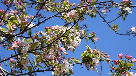 Blossom has begun to appear all over Suffolk Picture: CHARLOTTE BOND