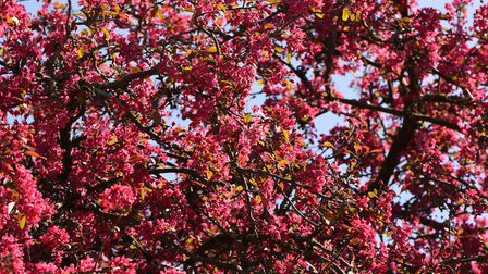 Shades of pink blossom have appeared across the county Picture: CHARLOTTE BOND