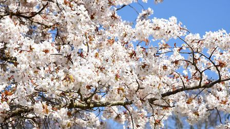Large branches of blossom in Woodbridge Picture: CHARLOTTE BOND