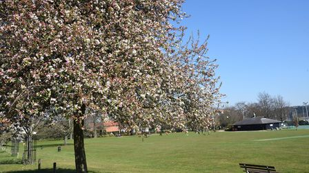 Beautiful spring blossom at Kingston field in Woodbridge Picture: CHARLOTTE BOND