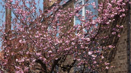 Beautiful spring blossom in Southwold Picture: SARAH LUCY BROWN