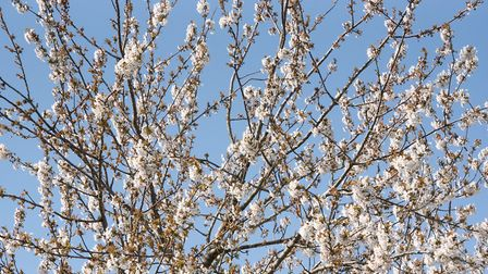 Beautiful spring blossom in Ipswich Picture: SARAH LUCY BROWN