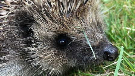 The hedgehogs have all been released into the wild now. Picture: SUFFOLK RURAL