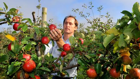 Maynard House Orchard in Bradfield Combust run by the Williamson family. Clive Williamson checking