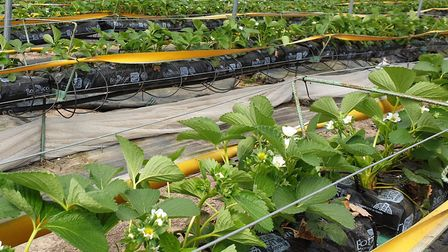 Strawberry crops blossoming at Williamson Growers at Bradfield Combust, near Bury St Edmunds Pictur