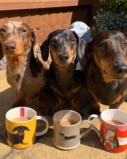 Barney, Benji and Monty are taking part Picture: THREE DAXIE TROUBLE