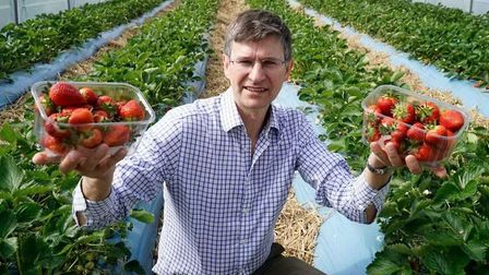 Tim Place of Place UK with his strawberry crop Picture: ARCHANT