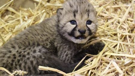 The tiny cheetah cubs at Colchester Zoo are now opening their eyes Picture: COLCHESTER ZOO