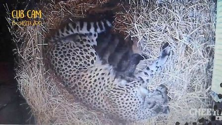 Colchester Zoo has welcomed along five cheetah cubs Picture: COLCHESTER ZOO