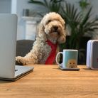 Dudley the apricot cockapoo is enjoying his owners working from home Picture: SARAH LUCY BROWN