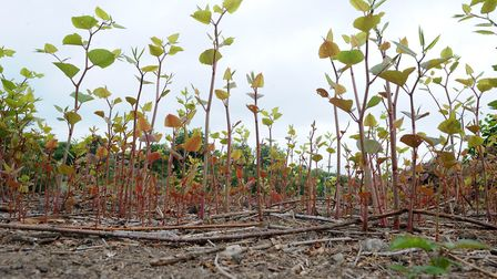 Japanese knotweed was first introduced into the country as an ornamental plant. Picture: ENVIRONET U