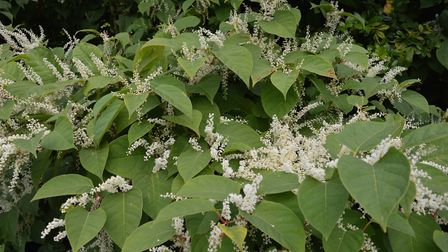 Japanese knotweed can be identified by its thick red stem and large heart-shaped leaves. Picture: EN