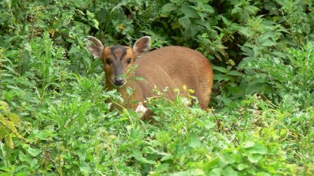 There have been reports of more muntjac deer being seen near roads during the lockdown. Picture: TIM
