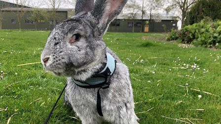 Albie is a Continental giant rabbit who lives at the Suffolk Rural College. Picture: LAYLA SHARPE