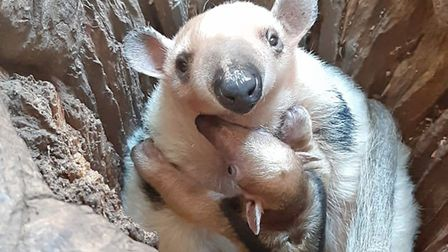 An adorable baby tamandua has been born at Colchester Zoo during lockdown. Picture: COLCHESTER ZOO