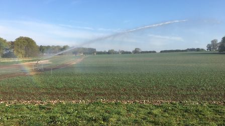 An onion crop being irrigated on the Euston Estate in spring 2020 Picture: ANDREW BLENKIRON