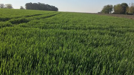 Skyfall winter wheat, pictured on the Euston Estate in spring 2020, has fared better than many cere
