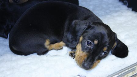 Police have reported several incidents of fraud when customers attempt to buy puppies (file photo) P