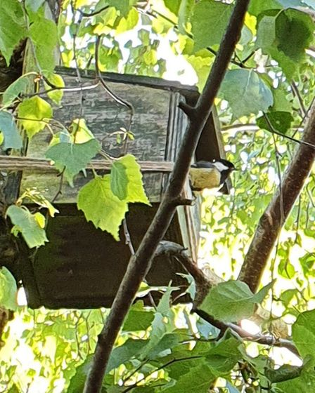 A great tit leaving the nest box in Belinda Cordey's garden after her and her husband Clive saved th