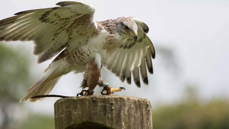 Suffolk Owl Sanctuary cares for a range of wild birds Picture: STONHAM BARNS