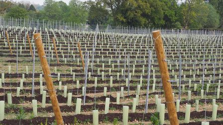 Vines planted out at a site at Tattingstone Picture: TBVM