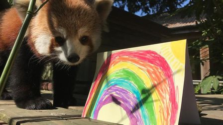 One of the zoo's red pandas alongside a handmade rainbow card Picture: Colchester Zoo