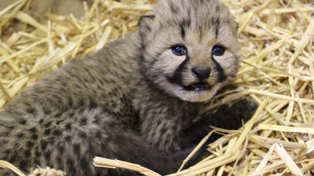 One of the latest arrivals at Colchester Zoo - a baby cheetah Picture: Colchester Zoo