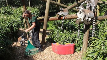 One of the keepers taking good care of the zoo's lemurs Picture: Colchester Zoo