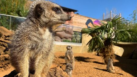 The zoo's meerkats Picture: Colchester Zoo