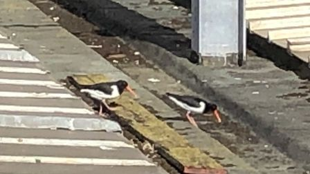 This pair of oystercatchers has set up home at Ipswich station. Picture: GREATER ANGLIA