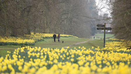 The daffodils are spectacular at Nowton Park in Bury St Edmunds Picture: GREGG BROWN