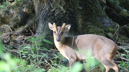 A muntjac deer which had become trapped between two fences in Colchester was rescued by the fire ser