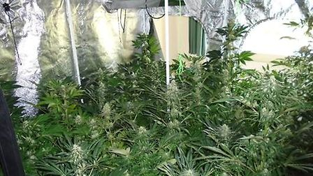 More than 100 cannabis plants have been seized following a raid in Burstall Picture: SUFFOLK POLICE