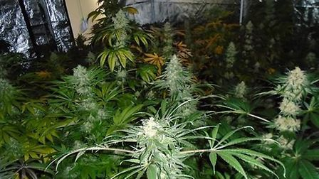 Police believe the cannabis has a street value of around £80,000 Picture: SUFFOLK POLICE