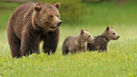 Bears in Yellowstone National Park Picture: LES BUNYAN