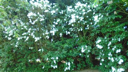 Mrs Rich planted this lilac more than 30 years ago Picture: CHERRY RICH