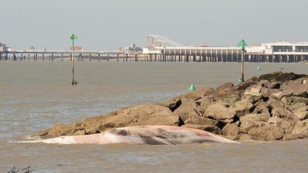 The sad discovery of a 40ft whale at Clacton beach in Essex this morning. Picture: KEVIN JAY