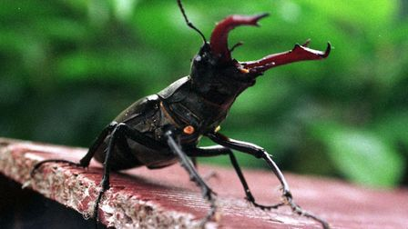 Stag beetles are the largest beetles in this country. Picture: JERRY TURNER