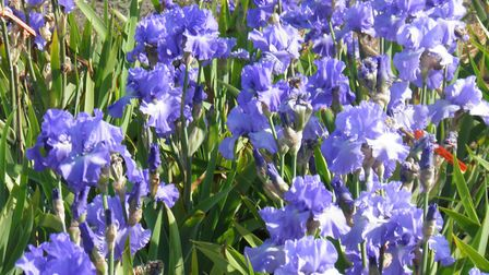 Barry Emerson's irises, which he will be selling to raise funds for NHS charities. Picture: BARRY EM
