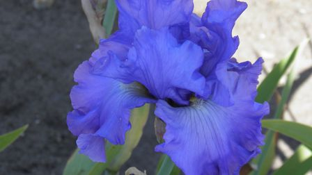 One of Barry Emerson's irises, which will be sold to raise money for NHS charities. Picture: BARRY E
