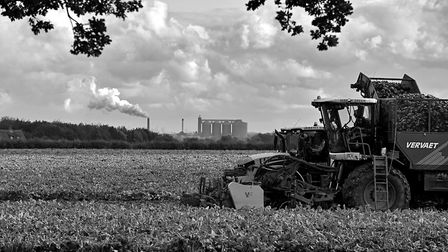 Harvesting sugar beet at Risby, with British Sugar�s Bury St Edmunds factory processing beet in the