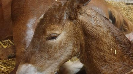 Baby baby just hours after she was born at the Suffolk Punch Trust. Picture: SUFFOLK PUNCH TRUST