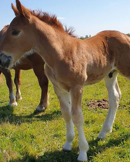 Colony Gremlin was named by the winner of a public fundraiser held by the Suffolk Punch Trust. Pictu