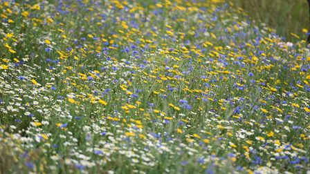 Wildflower meadows now line parts of the A12 and A14 Picture: GREGG BROWN